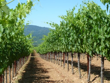 Redwood Glen Vineyard in Dry Creek Valley is the source of our Sauvignon Blanc