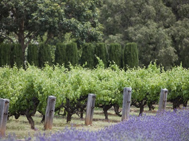 Tollini Vineyard in Mendocino County