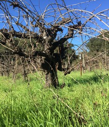 Close up of an old head pruned vine at Forchini Vineyard in Dry Creek Valley